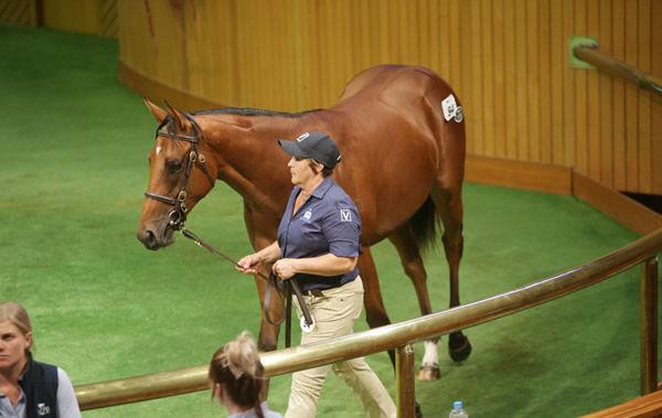 卡拉卡拍賣會,香港賽馬會高價競投成功,好戰王成最成功種馬